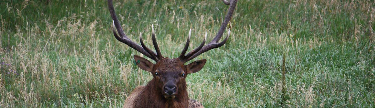 Evergreen Elk