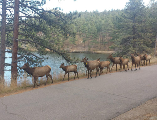 Where is the best place to see elk in Evergreen Colorado?